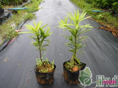 台湾罗汉松【产品详情】-惠州市立晖园艺种苗有限公司