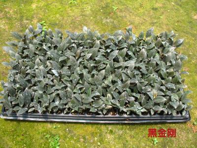产品详情:黑金刚橡皮树--绿之源种苗