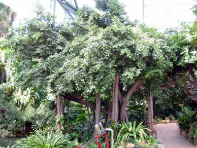 产品详情:独木成林的榕树(南树北调)--佛山市顺德区