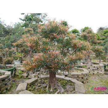 上一个 下一个 >> 海岛罗汉松 产品类型:造型树 -> 盆景 -> 海岛