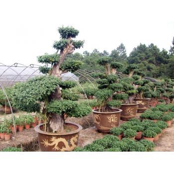 盆景 盆栽 树 松 松树 植物 350_350