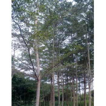 小叶榄仁 广东揭阳普宁绿化基地---广太建兴花木场---广州-深圳-中山